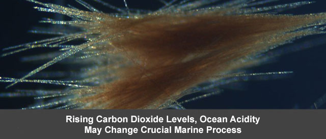 Rising Carbon Dioxide Levels, Ocean Acidity May Change Crucial Marine Process